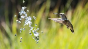 Colibri - Photo de Levi Jones